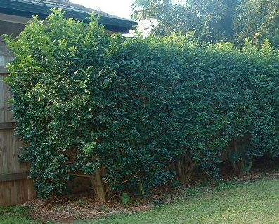 Murraya Paniculata hedge (Mexican Orange Blossom) Might make a good hedge at the back of the courtyard