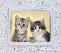 "Chaos, havoc and squeak (Manx Kittens and Rat) - ""That mouse framed us!"" Love this.."