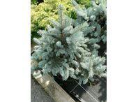 Rostlina | Picea, Smrk