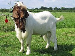Boer Goat, Boer Goats raised specifically for show purposes may seem to have little in common with pastured commercial goats, the difference is superficial. They are bred to be larger than normal goats, and meet specific visual appearances, but these very characteristics are valuable genes to add to the commercial herd. Boer goats were originally imported into the US and other countries for this very reason.