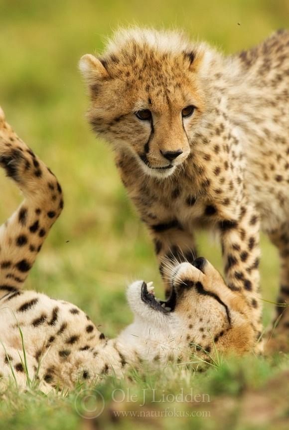 Cheetah: Sweet Cheetahs, Awesome Animals