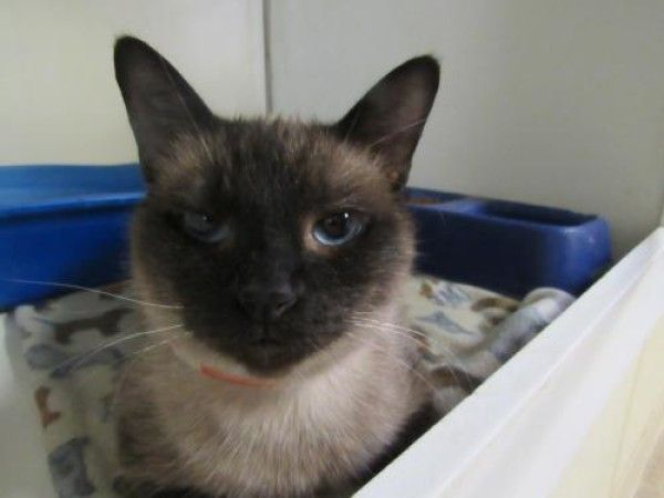 Sabrina Siamese Cat For Adoption In Battle Creek Michigan Cats Siamese Cats Siamese