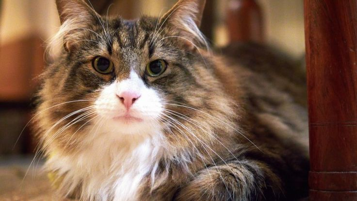 Learn the most common cat diseases that could affect your feline