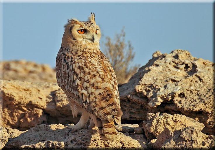 Pharaoh Eagle-Owl | Pharaoh Eagle-Owl (Bubo ascalaphus) In the desert jebels