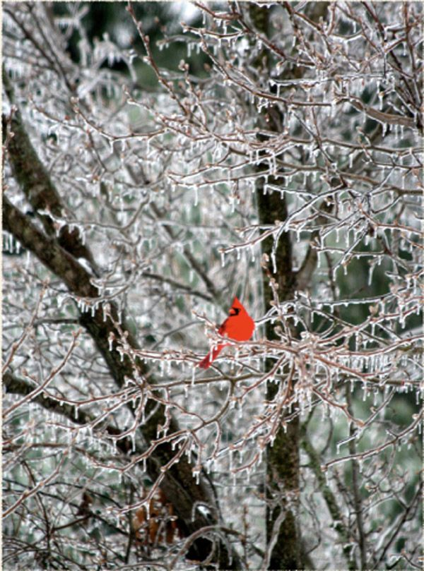 Winter ice storm and a beautiful cardinal red bird at rest in Dyer County, TN