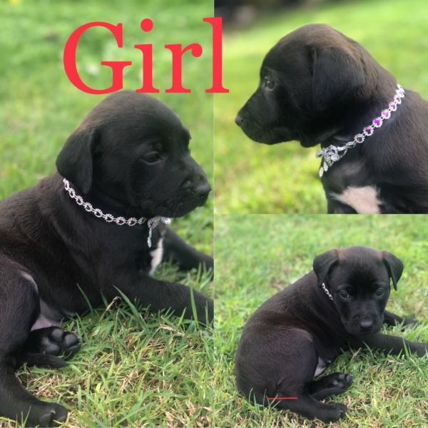 Rhodesian Ridgeback X Black Labrador Black Labrador Dog Black Labrador Rhodesian Ridgeback