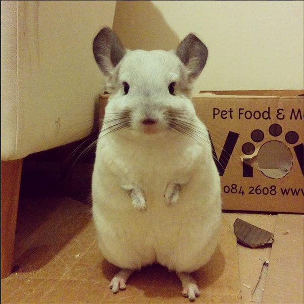 White chinchilla looking very proud after chewing their box.