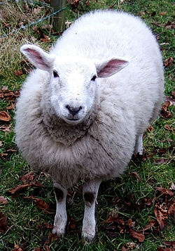How to Extract Lanolin from Sheep's Wool