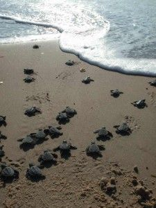 Every summer, sea turtle conservation programs in South Padre Island, TX and Corpus Christi, TX invite the public to watch as the newly hatched sea turtles make their way to the ocean.