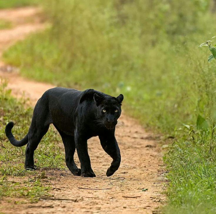 день фееринки картинки черных котов пантер бездна