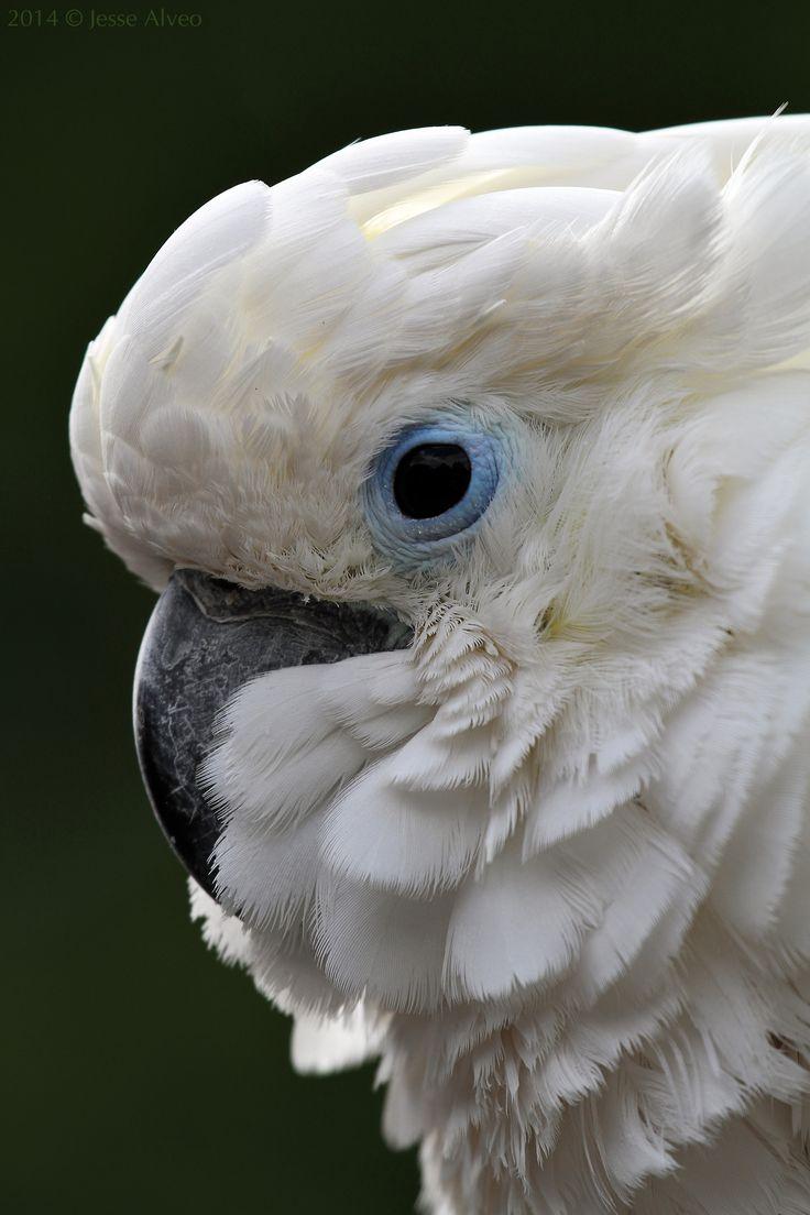 Mathews-Cockatoo (subspecies ofSulphur-crested Cockatoo)~ Mathews-Gelbhaubenkakadu ~Cacatua galeritafitzroyi 2014 © Jesse Alveo
