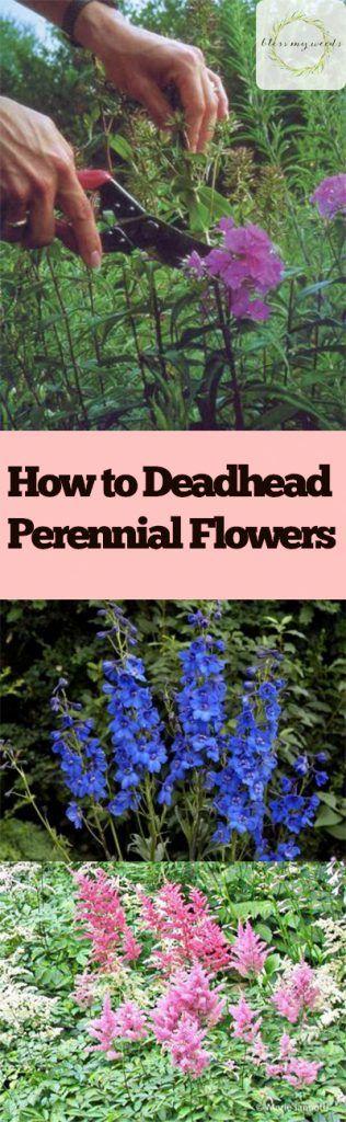 How to Deadhead Perennial Flowers - Perennial Flowers, How to Care for Perennial Flowers, Deadhead Perennial Flowers, Gardening, Gardening Care, Gardening Care Tips and Tricks, How to Care for Perennial Flowers, Popular Pin