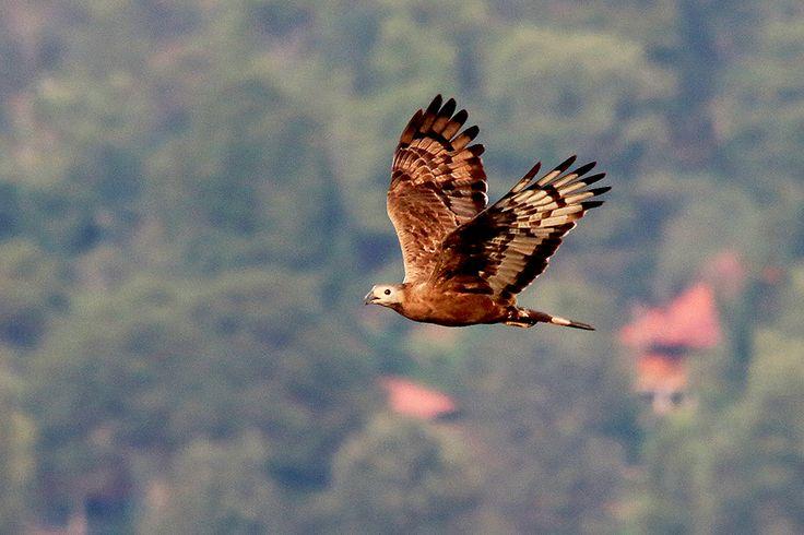 Migrasi Burung Pemangsa dan Kelestarian Hutan Indonesia | Mongabay.co.id