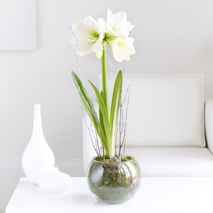 Amaryllis stand tall and bold in its white shades for winter. #MyInterfloraChristmas