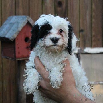 Cavapoo puppy for sale in GAP, PA. ADN-38148 on PuppyFinder.com Gender: Female. Age: 4 Months Old