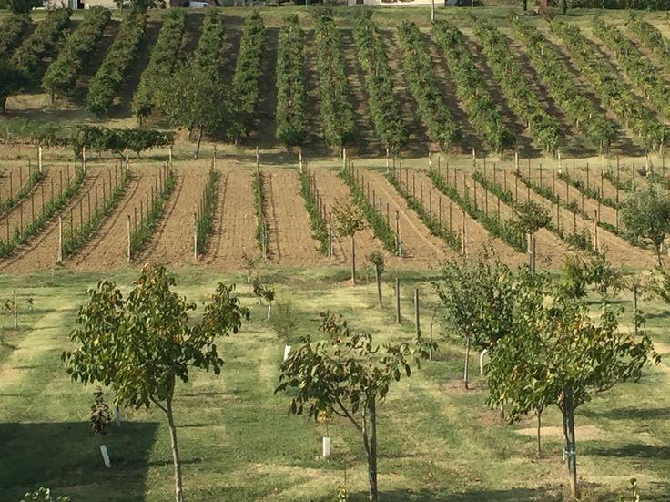 New and Old Vineyard in Castelvetro di Modena  Antica Acetaia Cavedoni Dal 1860