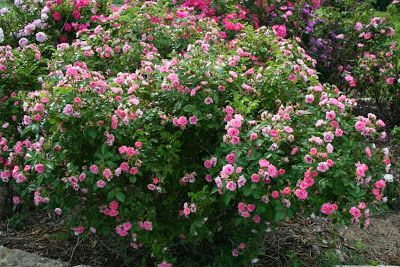 'Pink Grootendorst' (1923) Hybrid Rugosa   Kansas Garden Musings
