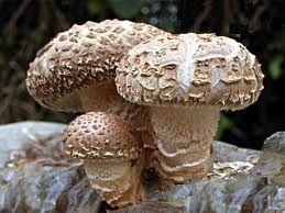 http://www.bylinkyprovsechny.cz/houby/65-houba-shiitake-ucinky-vyuziti-vliv-na-zdravi-pestovani