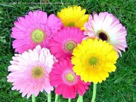 Gerber Daisies: Yellow Flowers, Gerber Daisies, Gerbera Daisies, Birth Month Flowers, Daisies Flowers, Spring Colors, Bing Image, Births Months Flowers, Pretty Flowers