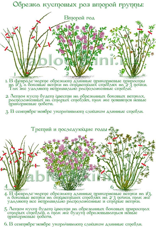 обрезка-кустовых-роз-второй-группы