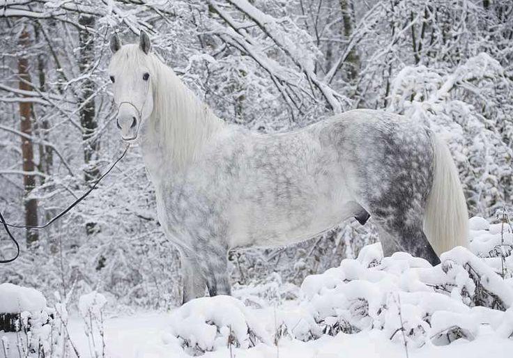 Beautiful dapple grey horse in snow                                                                                                                                                     More