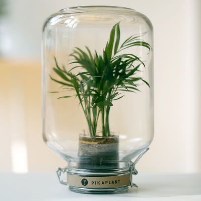 Jar Self-sufficient greenhouse - / Mini-palm tree included - H 28 cm by Pikaplant