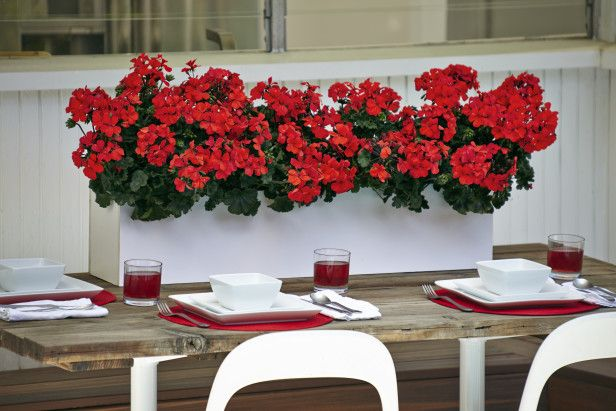 """2014 Geranium 'Timeless Orange' is a cross between a zonal and an ivy geranium, has a slightly cascading habit that makes it ideal for containers. Give the plants full sun, and they'll bloom until frost, reaching up to 18"""" high and spreading 18"""" to 24""""."""