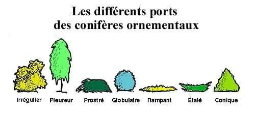 Ports des conifères 1 - Au Jardin de Jean-Pierre
