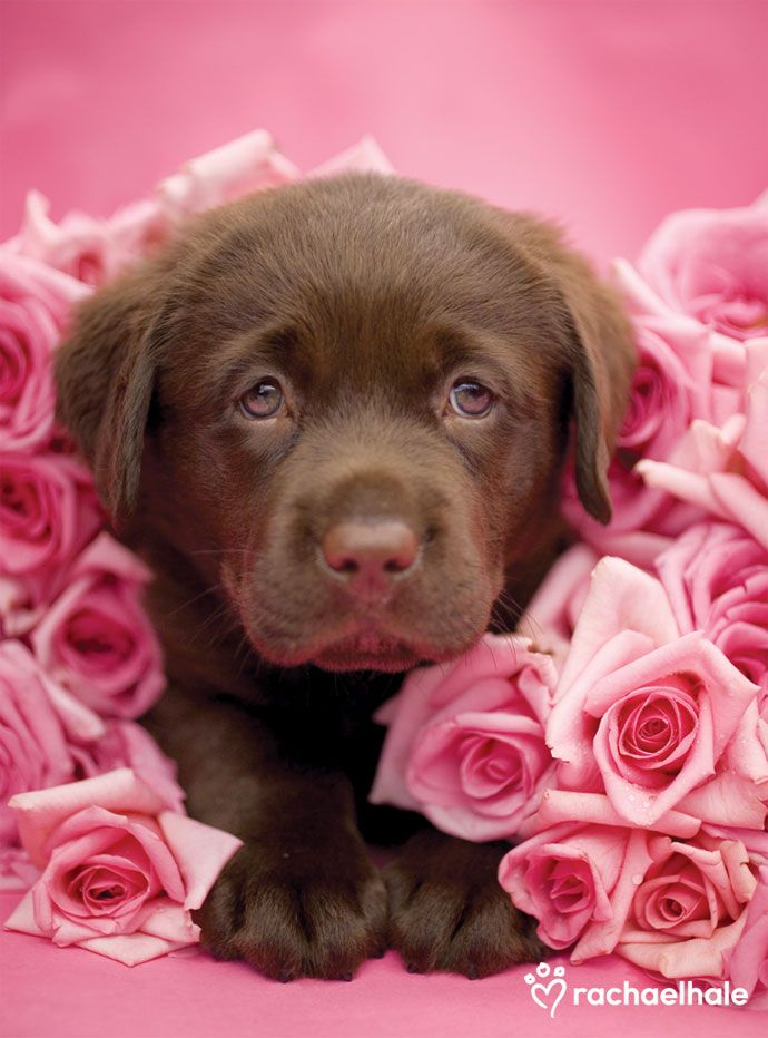 Georgie (Chocolate Labrador) - Georgie's debut as a budding young actor.  (pic by Rachael Hale)