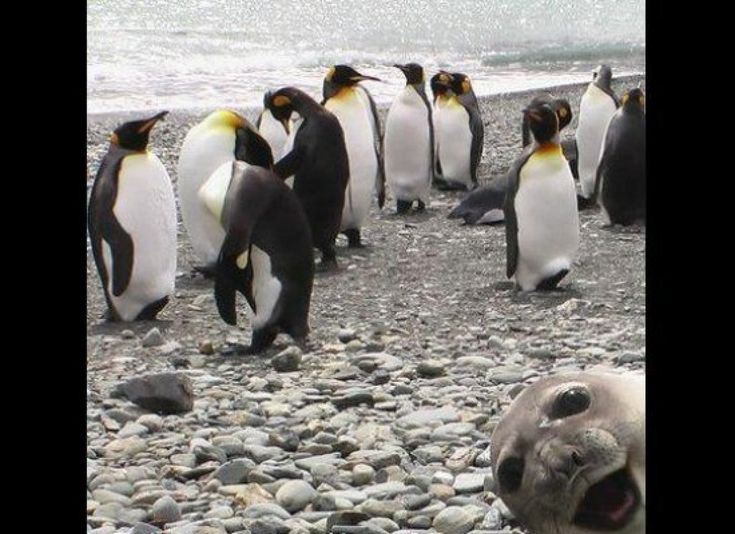 Crasher Seal: Aptenodyt Patagonica, King Penguins, Animal Photo, Sea Lion, Photo Bombs, Funny Animal, Seals Photobomb, Photobombs, Sealion