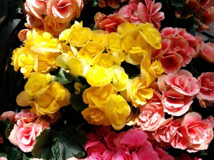 Begonias | Bourguignon Floristas #flowers