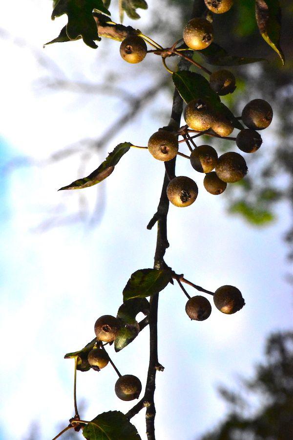 Ramas otoñales: espino albar, cornejo, eucaliptus, acedera y clematis