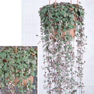 cbe83ddcf40fb0b1acd1f59f0d1038c0--houseplants-container-flowers