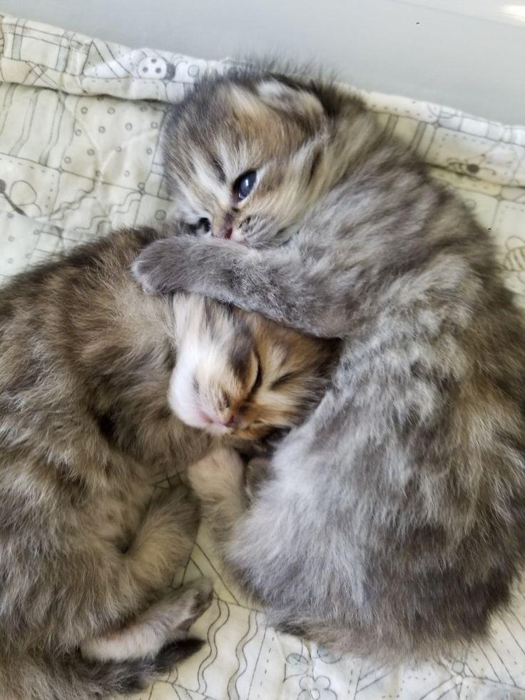 Adorable Persian Kittens Hugging Cats Baby Kittens Himalayan Kitten