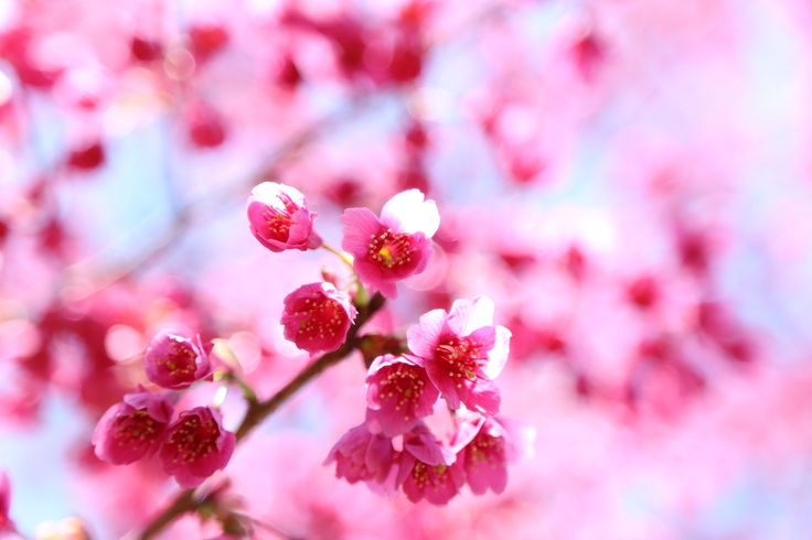 2014-03-24 寒緋桜 今週から気温がぐんぐん上がってきています。ぱっ!と咲いてくれるのでしょうか♪