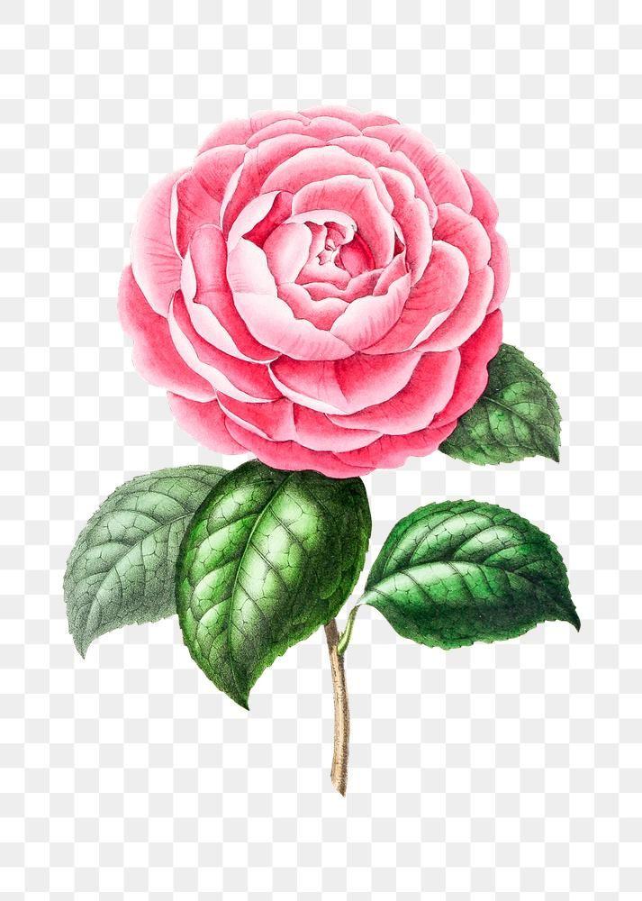 Vintage Pink Camellia Flower Design Element Free Image By Rawpixel Com Gade In 2020 Camellia Flower Design Element Vintage Pink