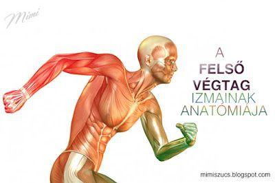 Anatómia alapok 6. - A felső végtag izmai