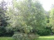Salix caprea http://www.fidanistanbul.com/urun/1266_salix-capreamas.html Fidan Satışı, Fide Satışı, internetten Fidan Siparişi, Bodur Aşılı Sertifikalı Meyve Fidanı Süs Bitkileri,Ağaç,Bitki,Çiçek,Çalı,Fide,tohum,toprak