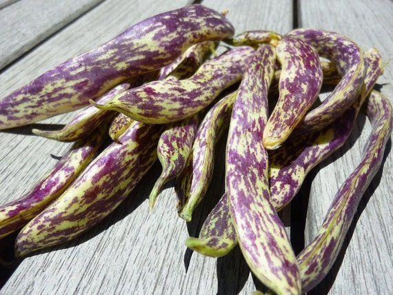 Heirloom Dragon Tongue Bean Vegetable Seed Garden Organic Non Etsy Dragon Tongue Beans Beans Vegetable Vegetable Seed