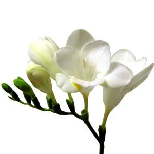 Freesia - multiple flowers; trailing green part