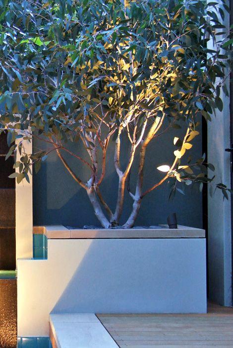 #Eucalyptus #pauciflora subsp. debeuzevillei in a contemporary #garden in London