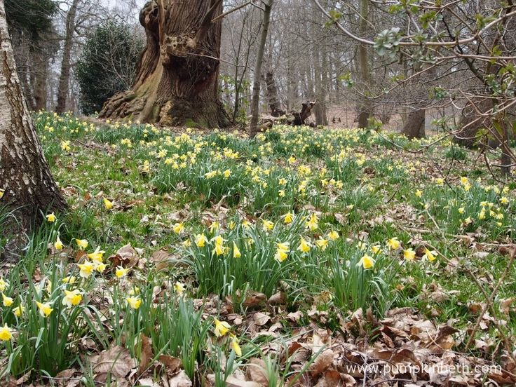 Daffodils at Painshill Landscape Garden in Cobham.
