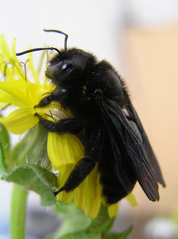 """libutron: """" Carpenter Bee by Jean Marie Mouveroux Xylocopa violacea readily identified by its color. Carpenters bees are about 25 mm, glossy black all over, with sparse black hairs. Taken at Le..."""