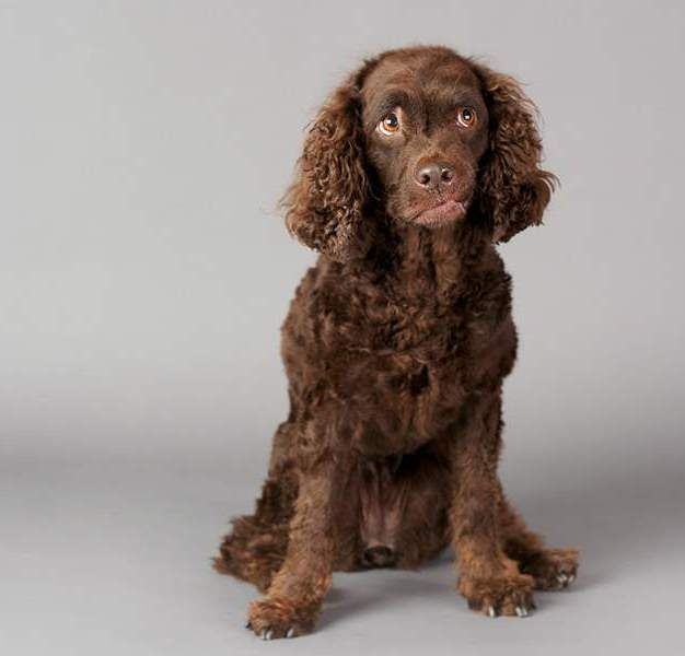 8 best American Water Spaniel Dogs/Mixes images on ... American Water Spaniel Dogtime