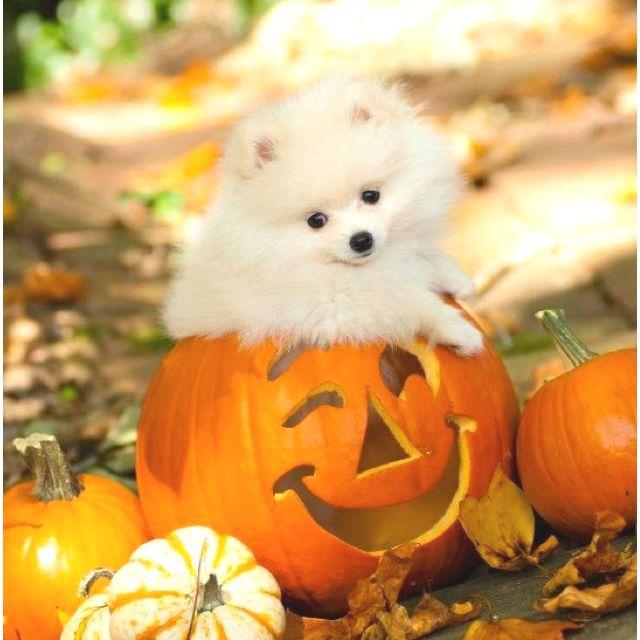 pomeranian - Halloween Pom Poms