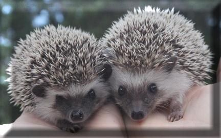 Janda Exotics-Hedgehogs for sale, Hedgehog babies for sale