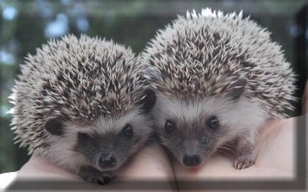 Janda Exotics-Hedgehogs for sale, Hedgehog babies for sale