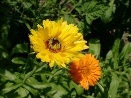 RINGELBLUME  Ihre Blüten sind ein hervorragendes Wundheilmittel, was die starke Verbreitung der Ringelblumensalbe erklärt.  Man kann die Ringelblume auch innerlich anwenden, um Verdauungsbeschwerden zu lindern und gegen Frauenprobleme zu helfen.