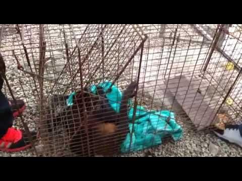 ¡Por fin! Atrapan al 'conflictivo' mono araña de Cozumel (Video)