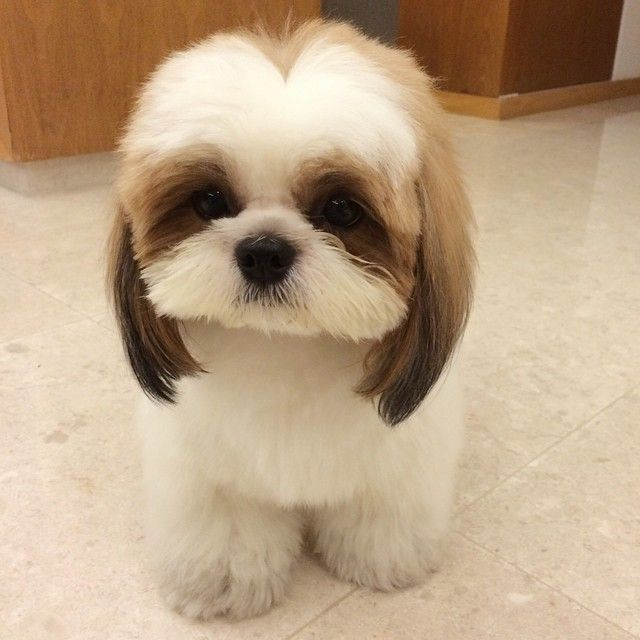 shih tzu pictures of haircuts 1000 images about shih tzu on maltese pets 3473 | cbeb9df32133adca900c71e3666d0c1c